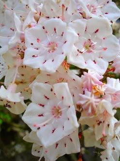 Mountain Laurel.  Pennsylvania's State Flower.  So pretty.  #Pennsylvania #flower #intricate: Flowers Gardens, Laurel Flower, Plants Flowers, Flowers Plants, Mountain Laurel, Beautiful Flowers, Laurel Blooms, Flowers Trees