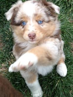 My new mini Aussie puppy Peaches! I pick her up this week: Red Merle Mini Aussie, Adorable Aussie, Aussie Babies, Aussie Peaches, Aussie Dogs, Mini Aussie Puppies, Miniature Australian Shepherd