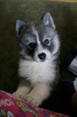 My next dog!! Pomeranian mixed with a husky what a perfect combination: Pomsky Pomeranian, Pomsky Cuteness, Perfect Pomsky, Pomsky Puppy, Cute Puppy Pictures, Pomsky Puppies, Pomsky S, Pomsky Cutest, Grey Pomsky