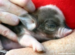 newborn mini pig ;)  I think I just Love a baby anything...♥..: Teacup Piglet, Mini Pigs, Baby Piggy, Teacup Pigs, Teacup Piggie, Baby Pigs, Micro Pig