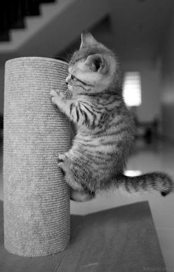 Okay, I don't like cats. But this one's cute.: Kitty Cats, Adorable Kittens, Scratching Post, Kitty Kitty, Crazy Cat, Cat S, Baby Cat, Cat Lady