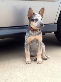 Perfect blue Heeler puppy: Blue Heeler Puppies, Blue Healer, Heeler Dogs, Blue Dogs, Blue Heelers, Australian Cattle Dog, Dogs Heelers, Queensland Heeler