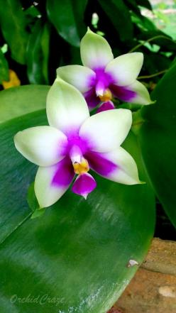 Phalaenopsis bellina: Favorite Flowers, Flores Flowers, Genus Phalaenopsis, Phalaenopsis Plants, Beautiful Flowers, Bellina Orchid, Flowers Phalaenopsis, Orchid Endemic
