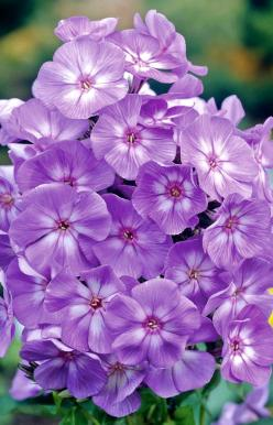 ~~Phlox 'Laura' | Thompson Morgan~~: Flowers Plants, Purple Flowers, Beautiful Flowers, Garden Flowers, Pretty Flower, Garden Plants Flowers, Flowers Purple, Phlox Flowers