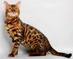 Physical Attributes of Bengal Cat Breed - Tops type of Cats at Catsincare.com!: Bengal Cats, Breeds Of Cats, Kitty Cat, Cats Pretty, Bengal Kitty, Leopard Cat, Cats Creating