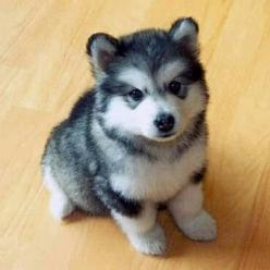 Pomerian Husky~oh how cute!: Pomeranian Husky, So Cute, Future Pet, Cute Animals, Husky Mix, Puppy, Adorable Animal