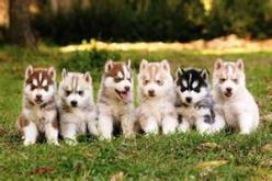 pomskie puppies. Because Brennan has a love for wolves I think this dog would be perfect!!! I love huskies but I love small dogs as well.: Husky Pups, Siberian Husky, Baby Huskies, Siberian Huskies, Puppy, Husky S, I Will, Husky Puppies, Huskies Puppies