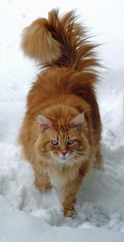 Red Maine Coon in the Snow...Looks so much like our adorable late Miss Daisy (who was a smaller version, red medium haired Tabbly): Orange Cat, Maine Coon Cats, Snow Cat, Main Coon, Animals Cats, Cats Kittens, Mainecoon