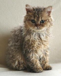Selkirk Rex is a cat that originated in Montana in 1987, with a litter born to a rescued cat. The only unusually coated kitten in the litter was placed with breeder, Jeri Newman, who named her Miss DePesto. This little feline was then bred to a black Pers