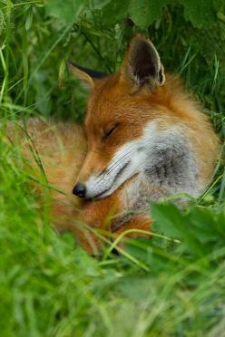 She looks like she is in love and thinking of him in her sleep....awwww...: Wolves Foxes, Dreaming Fox, Foxes Foxes, Fox Asleep