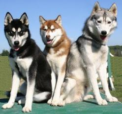 Siberian Huskies: What's Good About 'Em? What's Bad About 'Em?: Siberian Huskey, Huskies Beautiful, Huskies Dogs, Siberian Husky Dogs, Husky Breed, Dogs Husky, Siberian Huskies Puppies, Beautiful Dogs