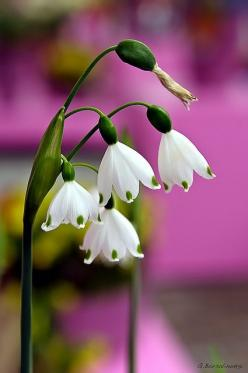 snowdrops <3: Flowers Gardens Plants Herbs, White Flower, Flowers Plants, Campanulas Flowers, Beautiful Flowers, Campanulas Prettyflowers