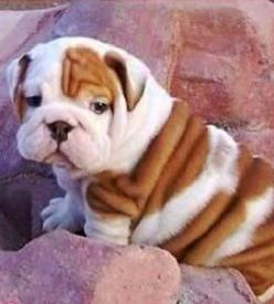 SO FAT BUT YET SO CUTE. WE NEED TO GET CORN SOON. SO JIM WILL STOP ASKING US AND SENDING MOM HOURLY TXT MESSAGES TO MOM. BUT HE IS SO CUTE: Baby English Bulldogs, Cute Bulldogs, Victorian Bulldog, English Bulldog Puppies, Bulldogs Puppy, Puppies Bulldogs,