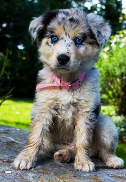 Sometimes I can't believe those dogs are real. They're like my favorite dog, however has one have like the cutest dog in the world.: Australian Shepard, Cute Animal, Australian Shepherd Dog, Blue Eye, Aussie
