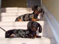 stairs are hard but from here we have a good vantage point: Dapple Doxies, Double Doxies, Dachshunds Wienerdogs, Doxie S, Constantly Nudging, Doxie Doggies, Weiner Dogs, Wiener Dogs