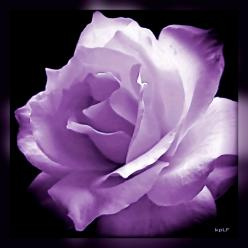 *STIRLING ~ rose.  I have grown this rose.  It is more pale but hands down the most fragrant rose ever!: Lavender Rose, Purple Rose, Roses Ros, Beautiful Rose, Purple Flower, Favorite Flower, Silver Rose