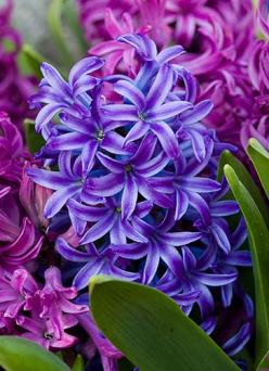 such amazing hyacinths! i love their smell, color and shape: Beautiful Flower, Spring Flower, Beautiful Hyacinth, Purple Hyacinth, Flowers Plants, Flowers Garden, Hyacinth Smell, Favorite Flower