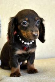 Sweet little Dachshund   ...........click here to find out more     http://googydog.com: Dachshund Puppies, Weiner, Doxie S, Daschunds Puppies, Mini Daschund Puppies, Dog, Animal