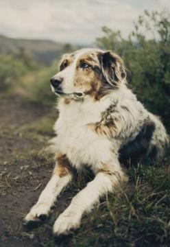 Take care of your pets. Visit petacom.in to view our complete range of pet grooming products.: Aussie S, Australian Shepherd Dogs, Aussie Pup, Aussie Beauty