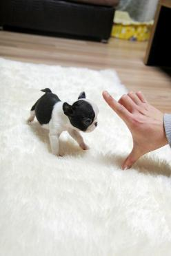 TEACUP PUPPY: ★Teacup puppy for sale★ French bulldog Bianco.: Teacup Animal, French Bulldogs, Teacup Pug, Teacup Puppies, Baby Boston Terrier, Teacup French Bulldog, Tiny Dog, French Bulldog Puppies