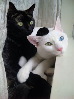 that is soooooo sweeeeet. must be love :): Kitty Cat, Black And White, Black Cats, White Cats, Black White, Kitty Kitty, Blue Eyes, Green Eye, Blackcat