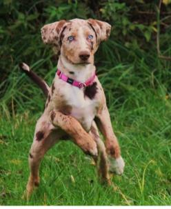 The Catahoula Leopard dog has a striking appearance and a strong work ethic. He's a tough dog bred to work in swamps and forests.  He is the State Dog of Louisiana.: Catahoula Leopard Dog, Catahoula Parish, Louisiana Catahoula, Rare Dogs, Leopard Dogs