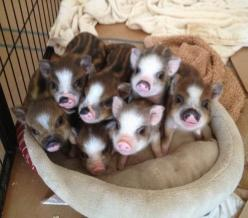 the cuteness is over the top!: Piggy Piggy, Minipig, Mini Pigs, Oink Oink, Piggy S, Bacon Seed, Baby Pigs, Baby Animal