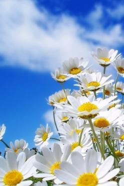 The daisy is April's flower. When I was young I wished it was something more exotic, but now I think it suits me.: Daisies Flower, Blue Sky, Daisy Daisy, Blue Skies, Daisy S, Summer Flower, Friendliest Flowers, Favorite Flower