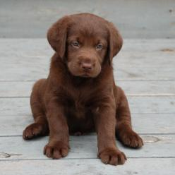 The information provided in Dove Cresswells Dog Training Online is designed to help the general public learn ways on how to properly train their dogs.: Chocolatelabs, Chocolate Lab Puppies, Chocolate Labs, Pet, Baby, Chocolate Labrador, Dog, Animal