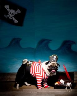 These directions are fairly complicated, but even just the hat and the tiny plastic parrot could work wonders.: Pug Pirate, Pirate Pug, Pirate Dog, Pirate Costumes, Dog Halloween Costumes Diy, Small Animal