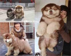 This dog is the impossibly perfect mix of the chow chow and the Siberian husky.: Siberian Husky, Chow Siberian, Chow Chow, Siberian Huskies, Husky Mix