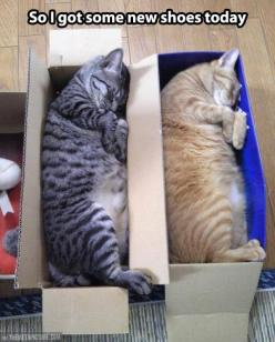 This is so scary how much these kitties look like Midge and Gustav!: Kitty Cat, Funny Cat, Crazy Cat, Shoes Today, Funny Animal, Shoe Box, Cat Lady