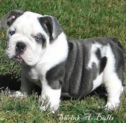 This was my first choice for a pet-(English bulldog), BUT-couldn't afford one. Cost of up keep was also costly. So my next option was Boxers.  I have had four in the last 20 years and I love them.  I love Bulldogs from afar.: Doggie, Bulldog Puppies,