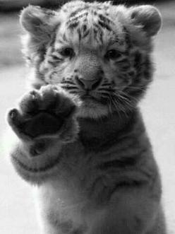 tiger-cub-hello.jpg 360×480 pixels - Cat as a baby.  No wonder Caros couldn't leave him behind when he gained his freedom.: Big Cat, White Tigers, High Five, So Cute, Tiger Cubs, Favorite Animal, Baby Animal, Baby Tigers, Adorable Animal