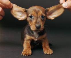 "Too cute!! He'd be a great addition to the ""My Perfect Pet"" Contest on Facebook!! https://apps.facebook.com/promosapp/264110: Dachshund Puppies, Doxi, Big Ears, Pet, Baby, Adorable Animal"