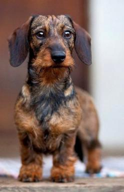 Top 10 Best Lap Dog Breeds: Awesome Dogs, Pets Animals, Dogs L Ve, Beautiful Dachshunds, Lap Dogs, Animals 3, Domestic Animals, Dog Breeds