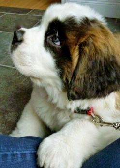 Top 5 Most Beautiful Dog Breeds: St Bernards, Puppy Love, Saintbernard, Pet, Bernard Pup, Saint Bernards, Puppy S, Animal