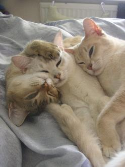 Trio of cats who stay together.  As if they're whispering in the time before sleep...: Cats Cats, Kitty Cats, Three S, Cozy Cats, Kitty Kitty, Cat S, Animals Cat, Sweet Kitties, Cats Kittens