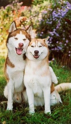 Victoria Secret Original Gift Card - http://p-interest.in/ Siberian Husky riamunthe: Husky Couple, Red Husky, Happy Couple, Siberian Huskies, Husky S, Red Huskies, Friend