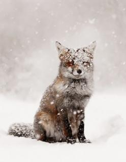 we have foxes on the farm- bad for chickens, but always cool to see them trotting through the fields: Winter Wonderland, Cute Fox, Snowy Fox, Red Fox