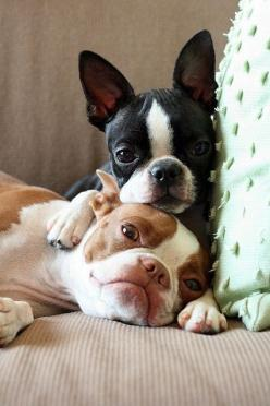 well - boston's looks like our Daisy and Brody: Doggie, French Bulldogs, Puppy Love, So Cute, Bostonterriers, Pet, Frenchbulldog, Boston S, Boston Terriers