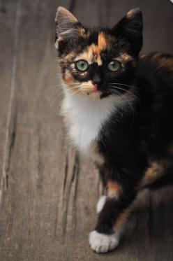 What a little love! I just lost my heart to such a cutie!: Cats Cats, Kitty Cats, Beautiful Cat, Calico Cats, Cat S, Pretty Kitty, Cats Kittens, Cat Lady