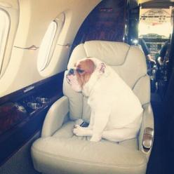 "What do you think he's thinking about? My guess: "" The humans forgot my snacks, now I'm angry- Don't look at me"" #poochesonplanes: Bulldogs ️ ️ ️, French Bulldogs, Aj Bulldogs, English Bulldog Puppies, English Bulldogs, Bulldogs Pets,"