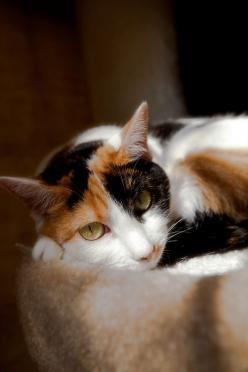 Wonderful calico cat and she reminds me of my Annie: Calico Baby, Kitty Cats, Calico Chats, Beautiful Cats, Cats Iii, Calicocat Shoutout, Adorable Calico, Calico Cats