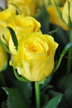 yellow rose: Beautiful Flower, Yellow Rose, Flowers Rose, Beautiful Rose, Rose Bud, Favorite Rose, Yellow Flower, Favorite Flower