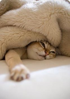 You never know where you will find Biscuit... More than once, I've plopped down on the bed, only to feel a cat-sized lump under the covers.  ~~  Houston Foodlovers: Cats Cats, Kitty Cat, Sleepy Kitty, 3/4 Beds, Cozy Kitty, Kitty Kitty, Cats Dogs, Anim
