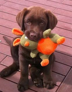 You wanna win me over? Want a super easy way for me to love you forever?? I really would like a puppy....i know i am not in the position to have one now....but i would love to have one in the near future :): Doggie, Choclate Lab, Toy, Love Chocolate, Choc
