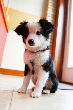 10 fun facts about dogs, a fact about pet lovers :): Australian Shepard, Border Collies, Border Collie Puppies, So Cute, Puppys, Collie Puppy, Australian Shepherd, Puppy S
