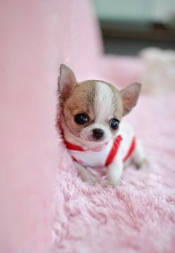 5 Most Adorable Teacup Puppies: Animals, Dogs, Teacup Maltese, Teacup Puppies, Adorable Teacup, Pets, Puppys, Box