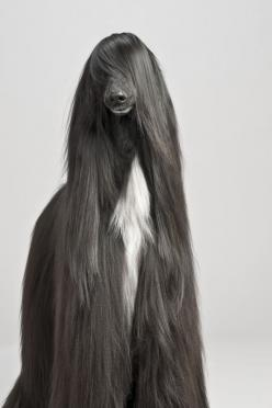 5 of the most graceful dog breeds: Afghan Hound, Afghans, Animals, Dogs, Long Hair, Pet, Hairs